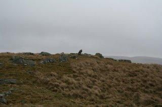 Wild hawk on hilltop