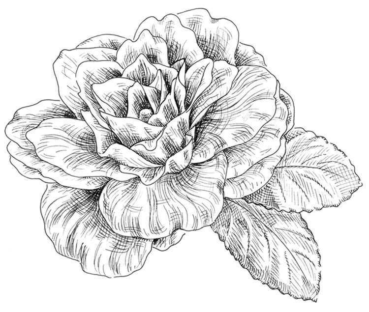 Camellia Flower Line Drawing : Camellia drawing pixshark images galleries