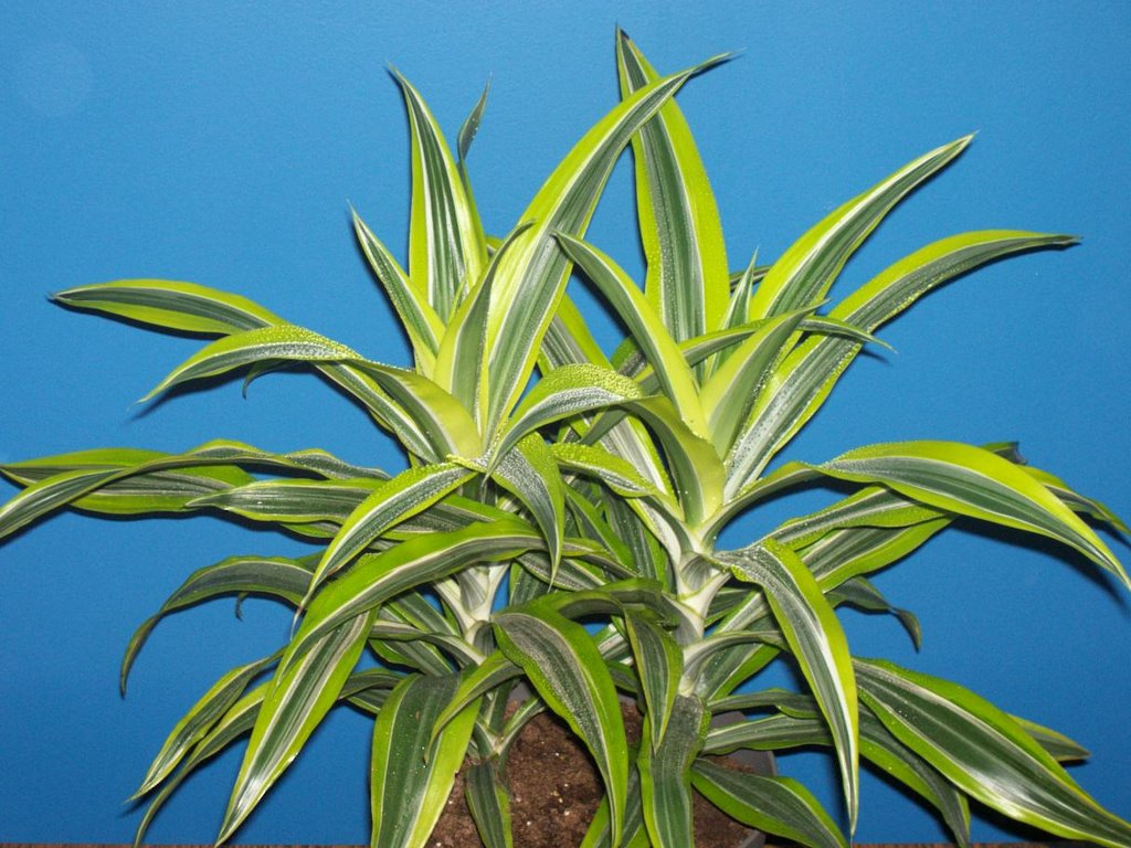 Easy to grow houseplants the amazing tropical corn plant for Easy to grow outdoor plants