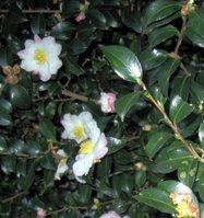 Camellia Sasanqua Flowers and Leaves