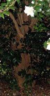 Camellia Sasanqua Trunk
