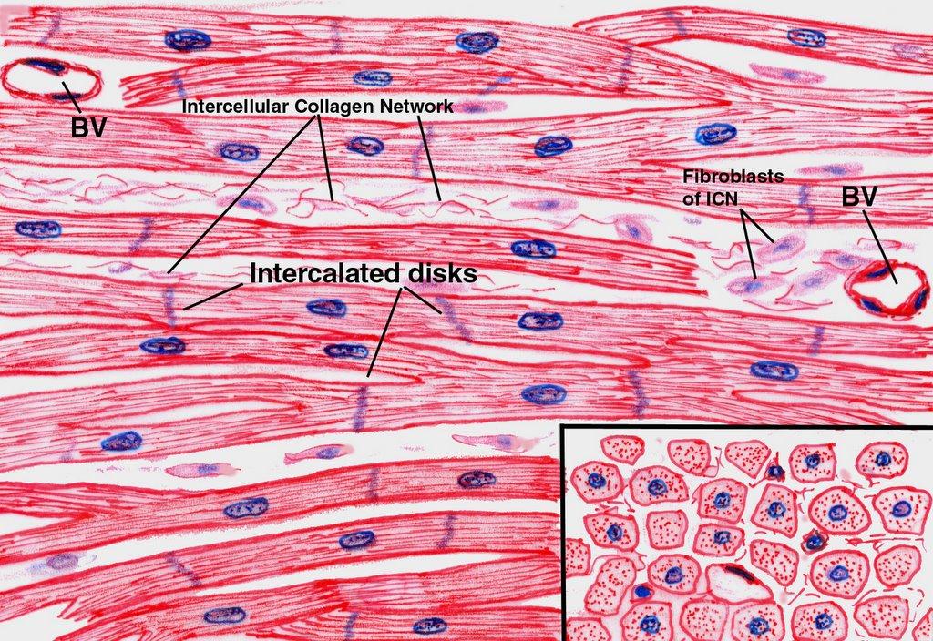 Lujo Labeled Cardiac Muscle Componente - Imágenes de Anatomía Humana ...