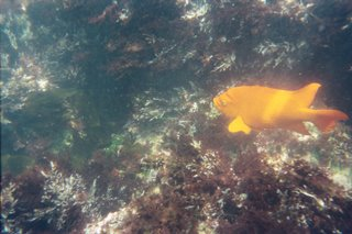 Garibaldi swimming in La Jolla Cove