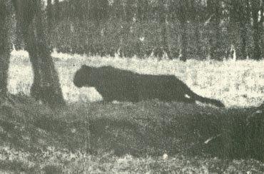 Alien Big Cats Britain