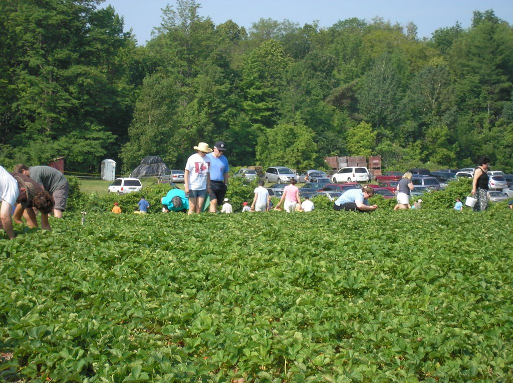 Strawberry picking in mississauga