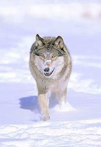 Save Arctic Wolves!