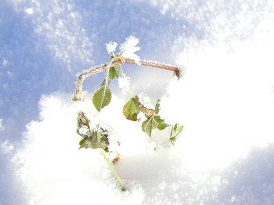 frosty twig