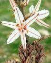 William Carlos Williams asphodel that greeny flower