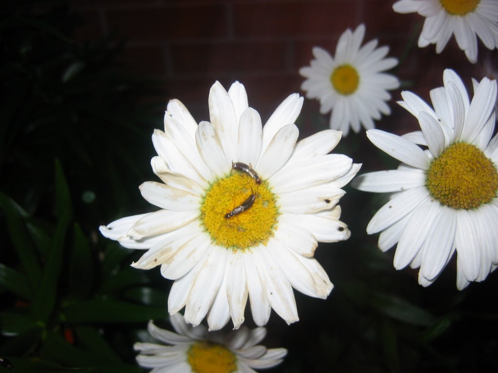 Earwigs eating pollen on Becky daisies