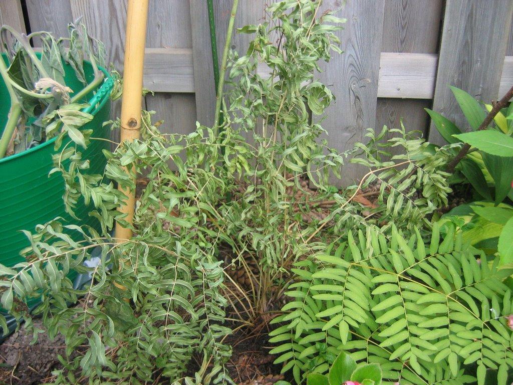 Crispy royal fern