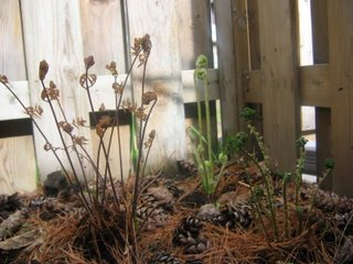 Furns: Osmunda regalis, Dryopteris spinulosa, Osmunda cinnamomea