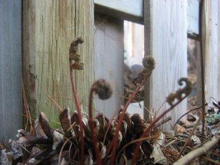 Senstive fern - Oncolea sensibilis