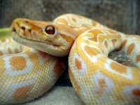 Photograph of a male Albino Burmese python