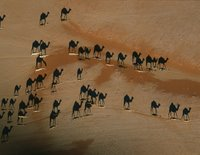Overhead picture of camels in the desert.