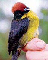Yariguies Brush Finch.