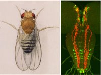 Image on the left shows a watercolor illustration of the fruit fly. Image on the right shows several groups of peptide neurons (red, green colored neurons) in the fly brain that regulate innate behavior.