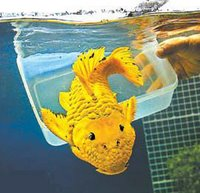 24K Goldfish