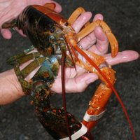 A rare two-toned lobster found in Maine
