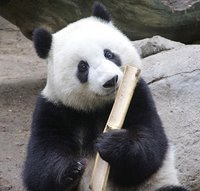 a panda bear eating bamboos.