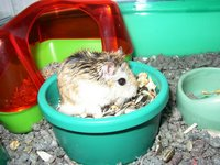 A Roborovski hamster
