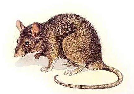 Programme de restauration et de conservation du rat d - Dessin d un rat ...