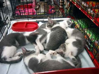 Five Little Gray and White Kitties, up for adoption, take a snooze in a Petco in La Canada California