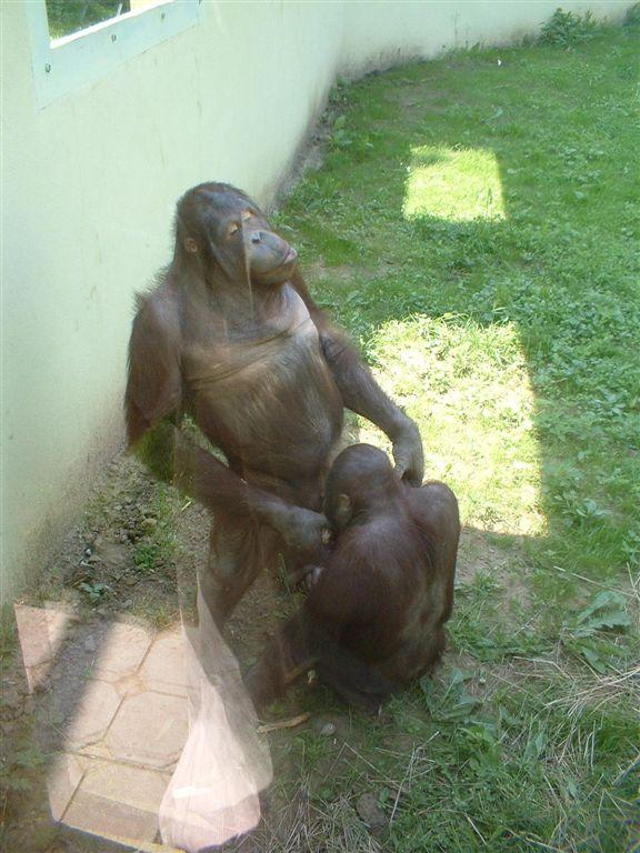Monkey sex with women