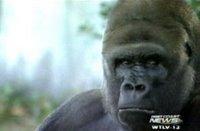 ben the gorilla