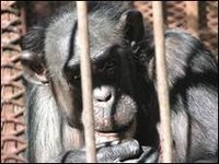 chimps san antonio