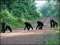 chimps crossing road
