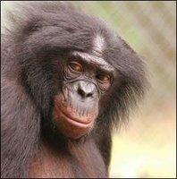 chimp panbisha