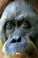 singapore ape