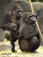 dead gorillas
