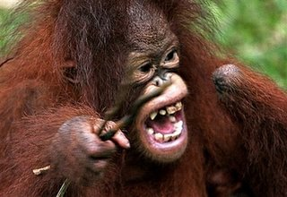 orangutan missing hand