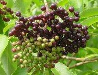 Elderberries could combat bird flu