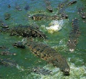 Crocodile Farm Swimming Thailand