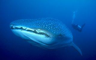 Scuba Diving Whale Shark