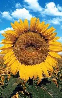 Sunflower_Saraburi_Thailand