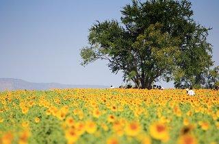 Sunflower_Shinning_Saraburi_Thailand