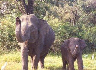 Elephant and Baby - Wasgamuwa Park (Dec 2004)