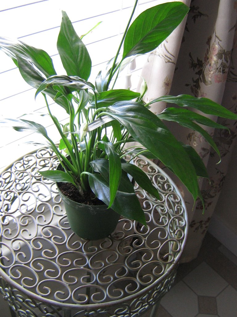 Tammys Times Peace Lily