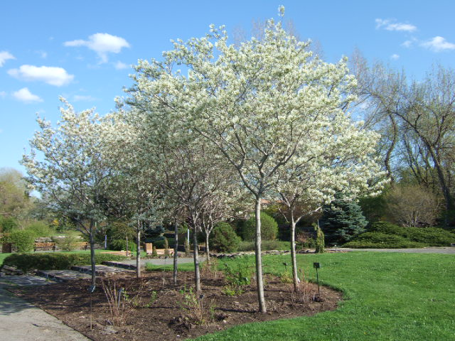 Amelanchier arbre