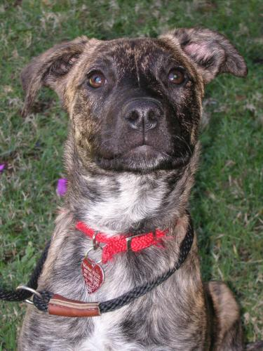 The Australian Brindle Hound will do okay in an apartment if they are ...