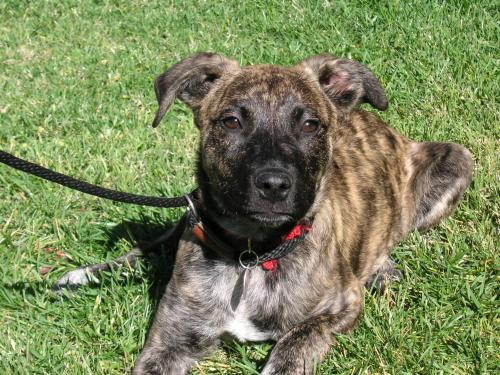 All About The Australian Brindle Hound