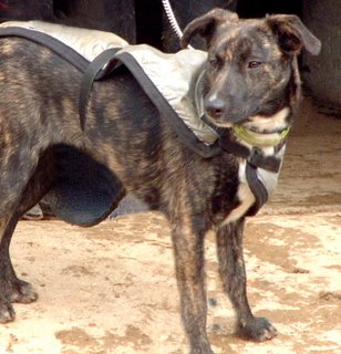 Brindle Hounds make excellent herd dogs. Bella is getting ready for ...