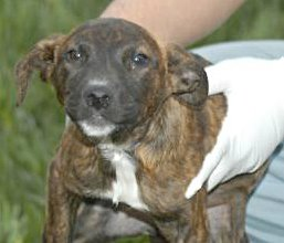 All About The Australian Brindle Hound: Photos Of Brindle Hounds