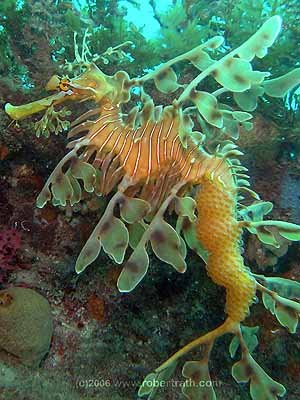 Helllloooo funnnny huuuuman. You won't find me in 26°C water nor anywhere else in the world. Now, do you STILL prefer tropical diving? And here in leafy sea dragon world, it's the MEN who carry the babies. Look at all mine back there. Anyway, bye for now from Exotica Moi...