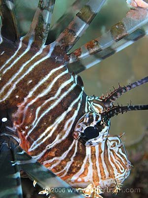 I'm a lionfish an' I'm okay...