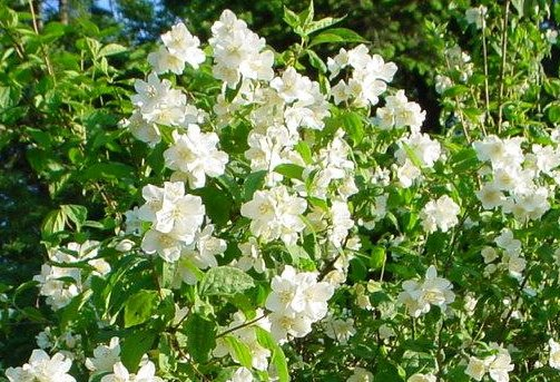 White flowers that grow on bushes images flower decoration ideas identification what is this bush with five petalled white flowers mightylinksfo