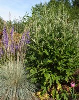 Globe thistle and blue oat grass